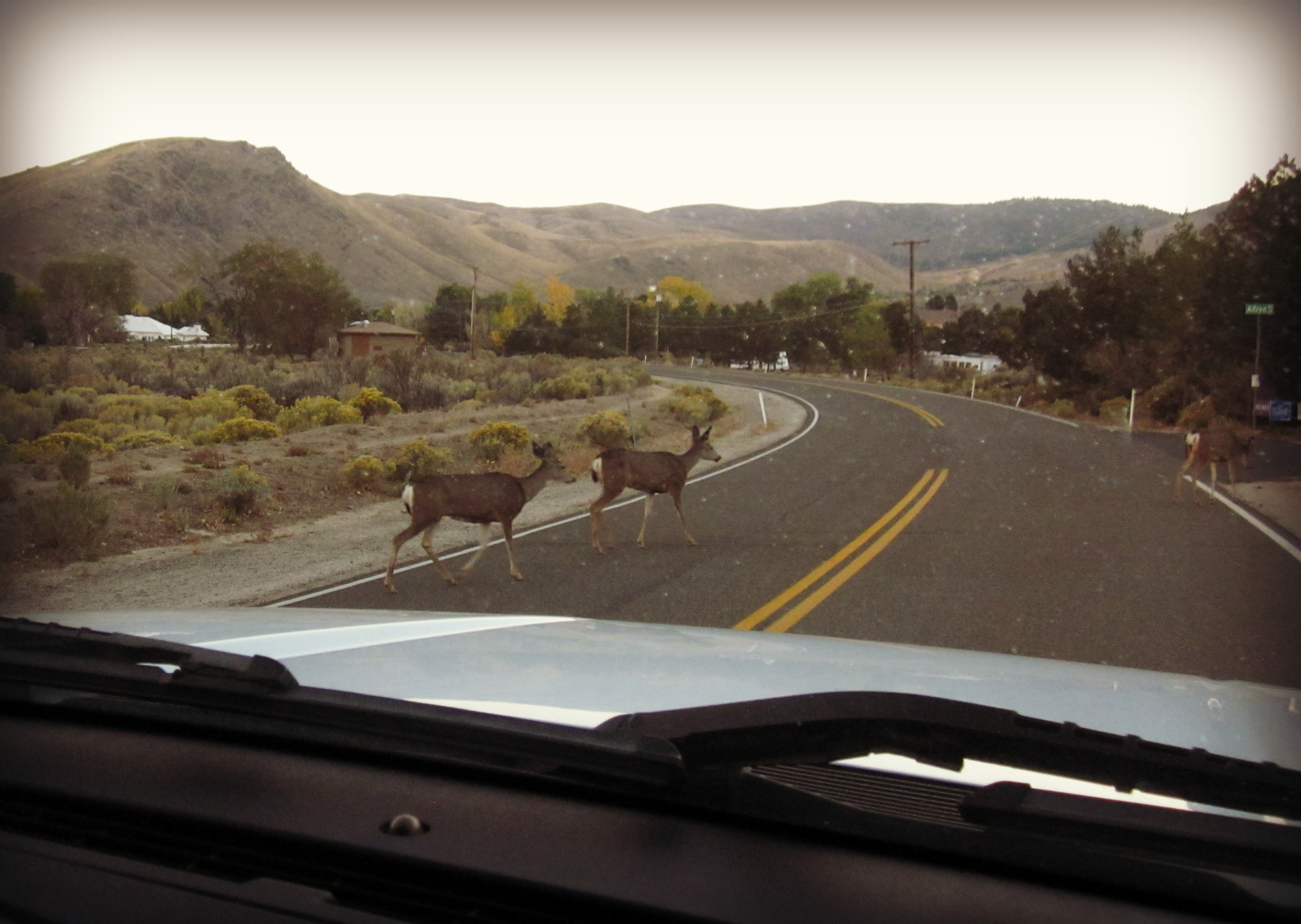 Deer crossing Nevada