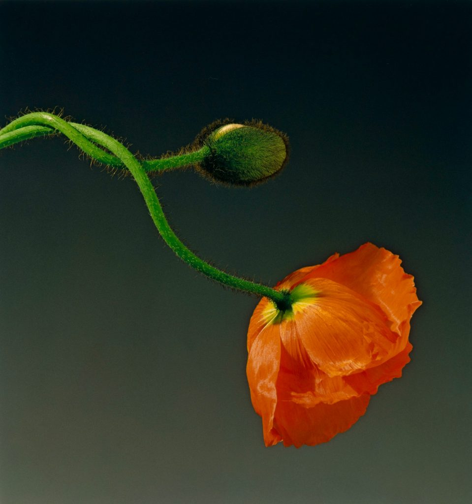 Robert Mapplethorpe Poppy